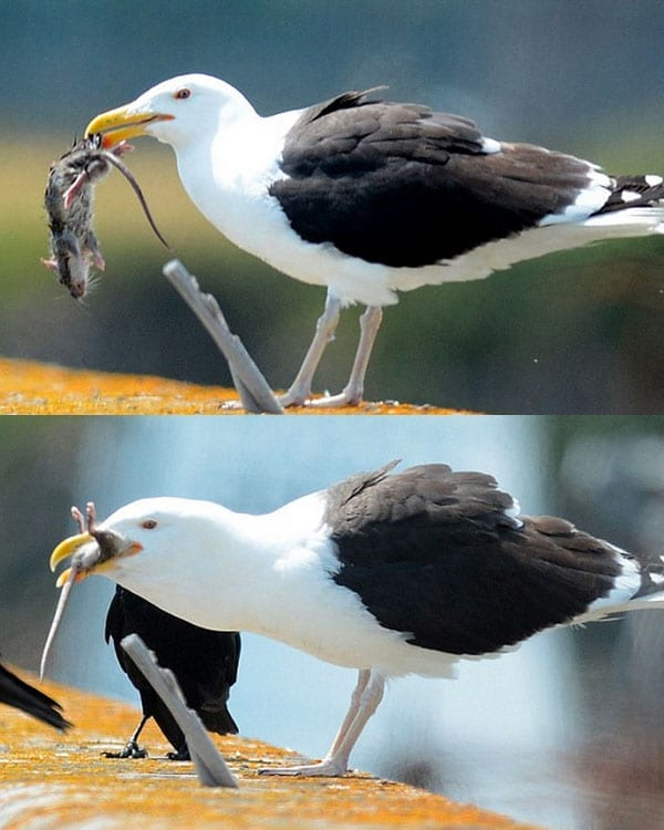 Picture of the Week: Ratting a seagull