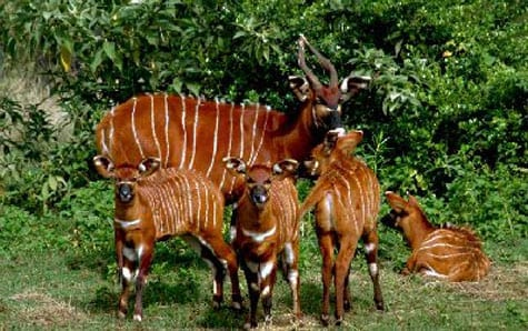 Could Godfrey Bloom have been referring to the western or lowland bongo, Tragelaphus eurycerus eurycerus?