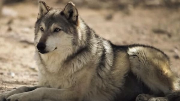 The consequences of reintroducing wolves to the Yellowstone National Park have been surprising