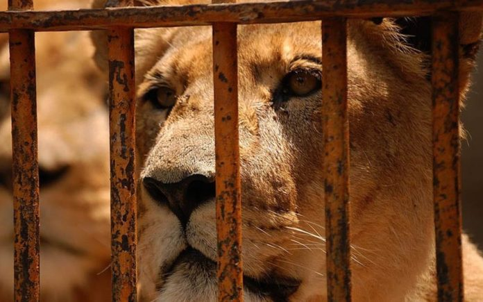 Free The Caged Big Cats – Matthew Steeples argues in support of The Big Cat Public Safety Act and urges readers to support his IFAW fundraiser in London.