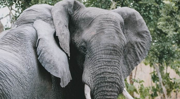Justice for Poko – Evil poachers who killed Poko the elephant have been caught and now face up to seven years in prison.