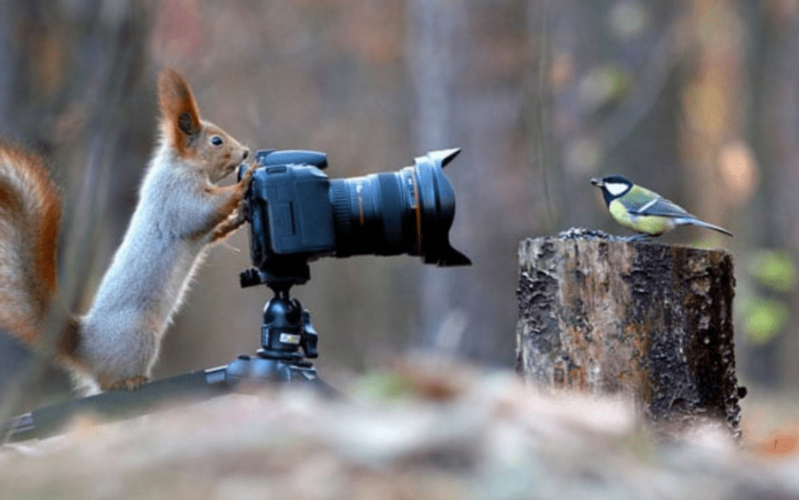 Picture of the Week – A Red Squirrel Riot – Red squirrel fights pheasant – Images of a red squirrel fighting a pheasant for hazelnuts and bird seed are proof that both creatures can be quite feisty.
